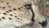 La tactique des guépards pour chasser des autruches
