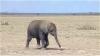 Le premier voyage d'un éléphanteau