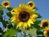 Les tournesols, symbole de la renaissance de Fukushima