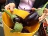 AMAP, les abonnés du panier de légumes